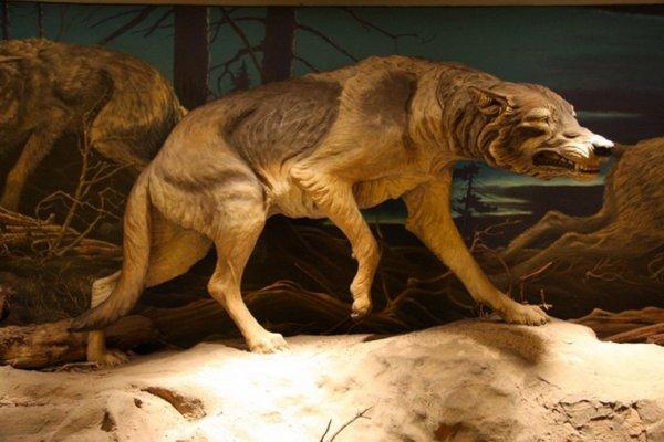 Canis-Dirus (ancêtre du loup)